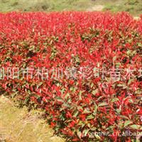 低价销售红叶石楠工程苗,园林绿化苗木,色泽鲜艳,成活率高