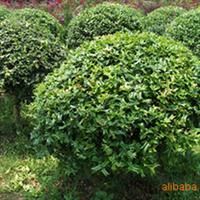 供应绿化苗木 火棘球  冠1M    高80CM以上 供应龙游梅 美人梅
