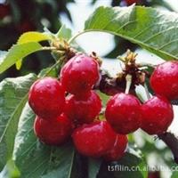 绿源苗木批发优质的成活率高的果实味道好的1-8年 大樱桃苗