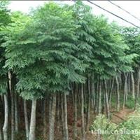 绿源苗木批发优质的成活率高的柳树苗