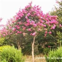 紫薇(百日红)特供3-20cm