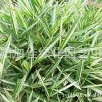 供应:菲白竹 菲黄竹 绿化竹子菲白竹 菲白竹批发 各种竹子品种