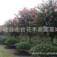 8万棵3-15公分紫薇紧急出售,非诚勿扰
