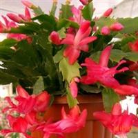 远春园艺场供应粉色、红色、韩国红蟹爪兰,可代办发货