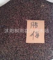 大量供应腊梅种子 狗牙腊梅种子 狗婴梅种子 成活率高