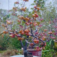 供应北美海棠(长寿果树苗) 大规格长寿果绿化苗 冬红海棠