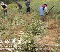 供应台湾大青枣-台南-广西灵山县|台南品种-低价出售台湾大青枣