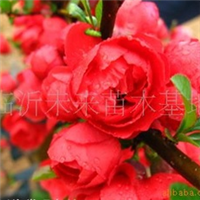 供应优质长寿冠海棠花