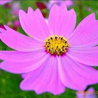 供应花卉种子-金鸡菊种子,波斯菊种子,二月兰种子
