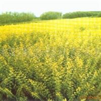 供应早熟禾、黑麦草、红花草、葱兰及各种草坪种