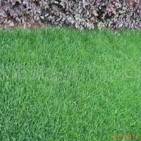 供应草坪-早熟禾、高羊茅、黑麦草、马尼拉、白慕大