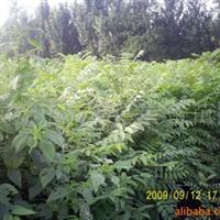 春蕾苗圃供应泰山红香椿