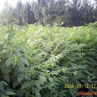 春蕾苗圃供应山东泰安泰山红香椿苗、香椿树苗