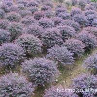 低价 工程绿化 灌木 各种规格 红继木球 13574134776