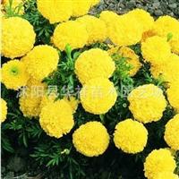 大量批发优质 草花种子 万寿菊种子 菊花种子