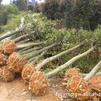 大量低价供应绿化苗木 杜英苗 品种齐全13574134776