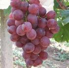 供应夏黑、克瑞森葡萄苗 抗病、耐运输葡萄新品种