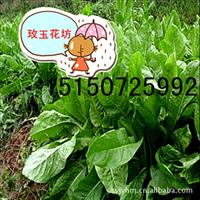 诚信通【玫玉花坊】特价 牧草种子 优质进口菊苣种子 益丰菊苣