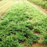 供应园林绿化 地被植物 铺地柏