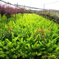 供应 大量红继木、红桎木、各种绿色苗木、花木