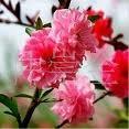 供应红梅 绿梅 腊梅等各种梅花