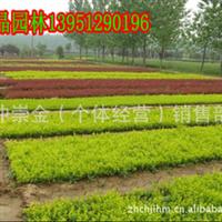 低价现货供应 红叶小檗 红叶小檗种子 紫叶小檗种苗 各种绿化苗木