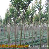 供应 紫薇 紫薇小苗 紫薇种子 百日红 百日红种苗 种子 绿化苗木