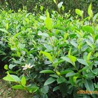 供应常绿乔木 名贵的香花植物含笑球