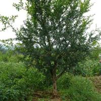 长期供应各种规格的石榴树8cm 的石榴树
