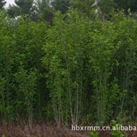 长期大量供应丛生木槿3-6分支的木槿