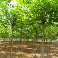 长期大量低价出售各种规格的法桐8-12的法桐