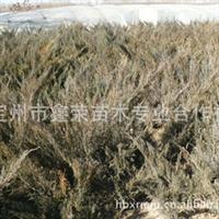 大量供应各种高度的沙地柏,H40-60cm沙地柏或者铺地柏