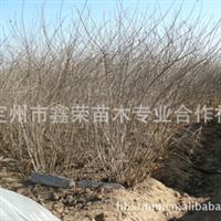 大量供应丛生金银木灌木高2米