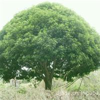 精品野生大桂花树  直径18公分以上大桂花树