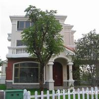 别墅风水树   房宅、庭院绿化桂花树