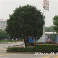 园区绿化  小区绿化树木   首选绿化桂花树