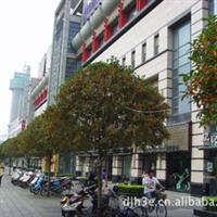 绿化工程桂花树  直径6公分——20公分桂花树