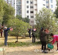工程、园区、小区绿化植物桂花树   精品桂花树