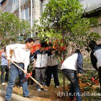 园区绿化风水桂花树  园区绿化专用桂花树