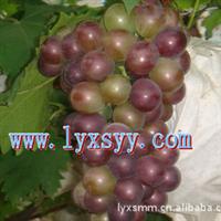 低价供优质葡萄苗,葡萄树苗