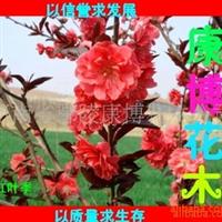 大量低价销售苗木 优质红叶季又名紫叶李