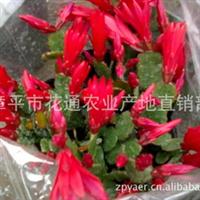 产地直销观花花卉蟹爪兰 三月红
