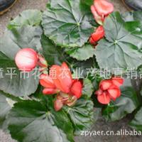 产地直销观花花卉玫瑰花海棠 批发红色玫瑰花海棠