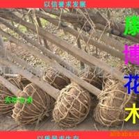 供应园林绿化苗木 优质两年截杆栾树 栾树小苗 规格齐全