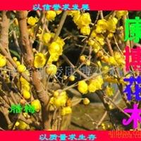大量批发:鄢陵腊梅、河南桧柏 桧柏造型 园林绿化苗木
