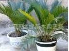 低价出售盆栽花卉 :铁树