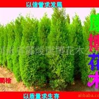 专供鄢陵苗木 河南桧柏50-70-100-3米