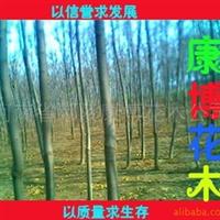 供应 园林绿化苗木 栾树 河南桧柏 规格齐全