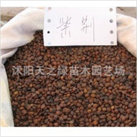 批发出售当年新采的林木种子 紫荆种子 又名满条红 量大优惠