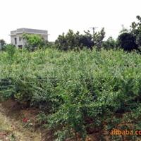 低价大量供应各种规格的石榴树苗